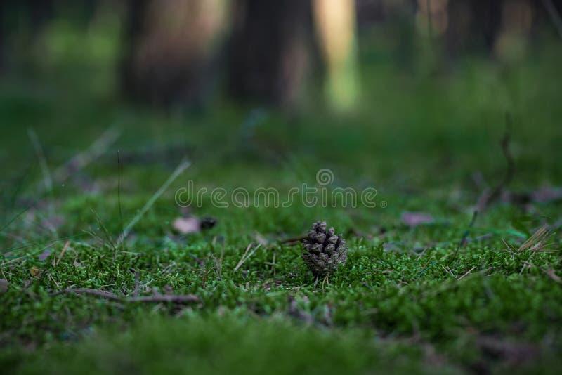 Kegel auf der Kiefer Forest Moss Undeutlicher Hintergrund lizenzfreie stockfotos