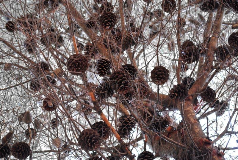 Kegel auf Niederlassungen eines Baums lizenzfreie stockbilder
