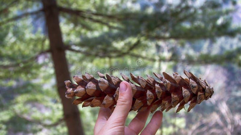 Kegel van de Himalayan-pijnboom royalty-vrije stock foto's