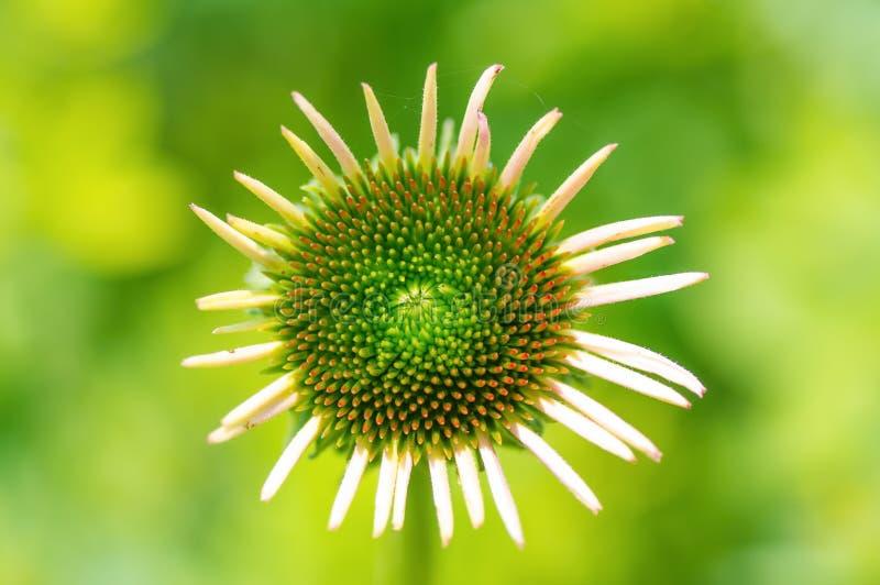 Kegelblume mit den inneren Pedalen, die anfangen, zu blühen glaube ich - lokalisiert mit glattem grünem Hintergrund/bokeh lizenzfreies stockbild
