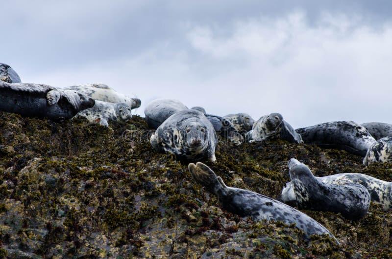 Kegelrobben in den farne Inseln 2 stockfotos