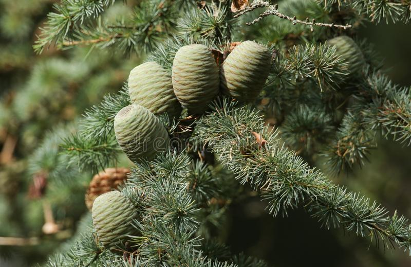 Kegels die op een tak van een Cedar Tree Cedrus-libaniceder groeien van Libanon of de Ceder van Libanon in het UK royalty-vrije stock afbeeldingen