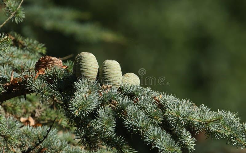 Kegels die op een tak van een Cedar Tree Cedrus-libaniceder groeien van Libanon of de Ceder van Libanon in het UK stock afbeelding