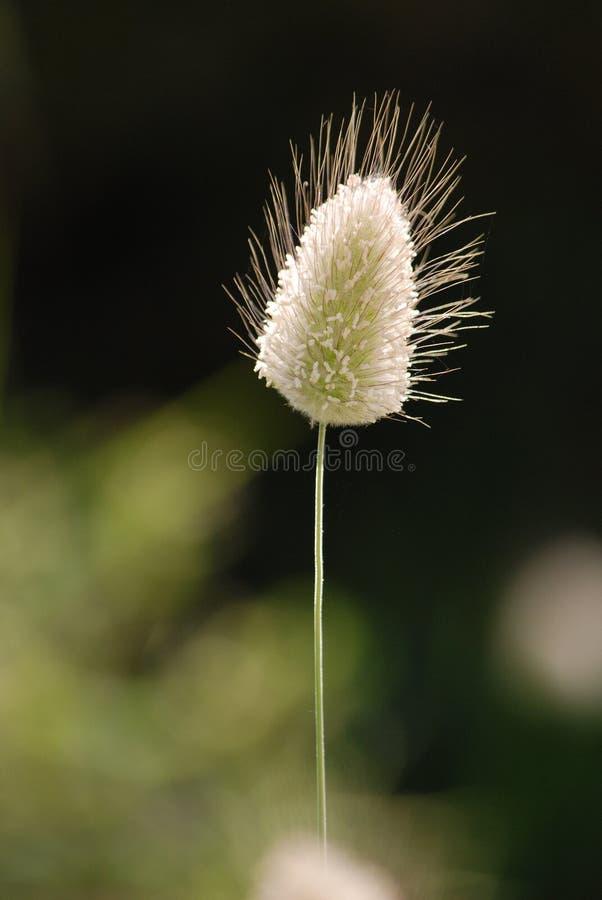 Kegelvormig grashoofd bij het lange stam groeien met andere bloemen royalty-vrije stock foto