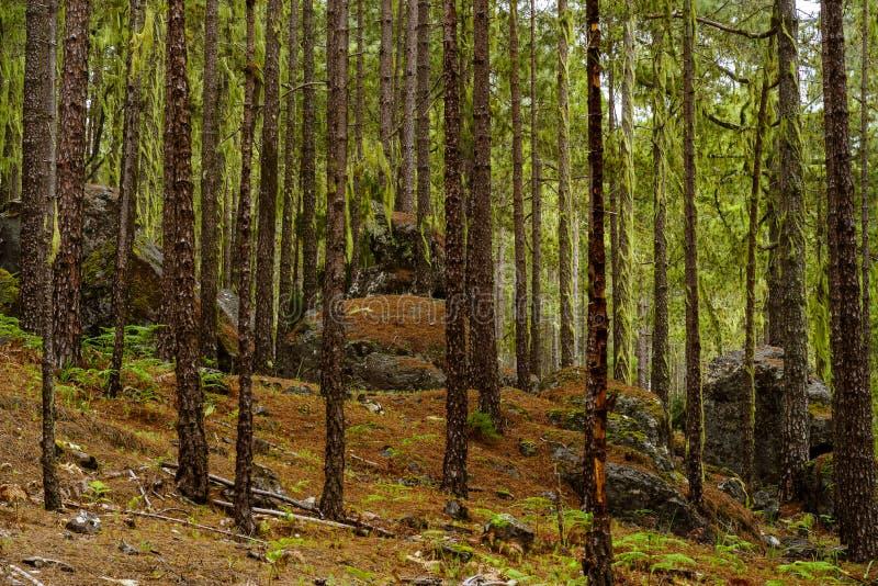 Keien in het bos van Tamadaba, Gran Canaria, Canarische Eilanden royalty-vrije stock fotografie