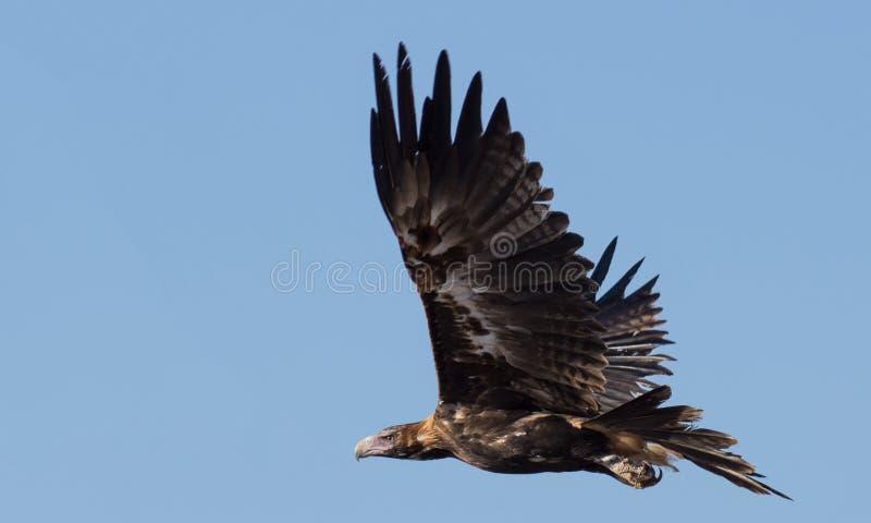 Keil angebundenes Eagle lizenzfreie stockbilder