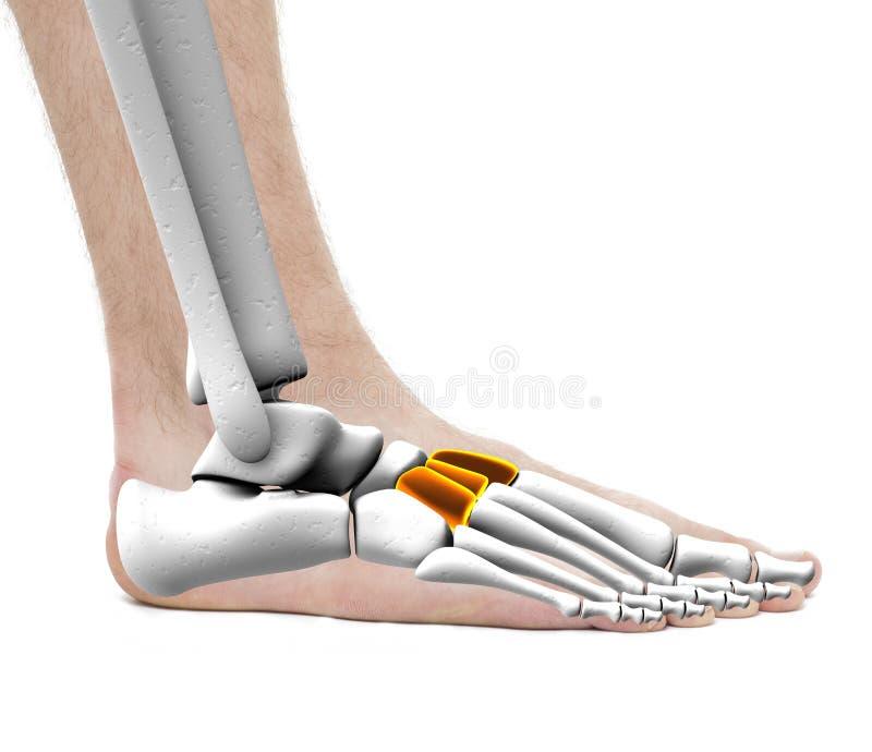 Keilförmige Knochen - Anatomie-Mann - Studiofoto Lokalisiert Auf ...