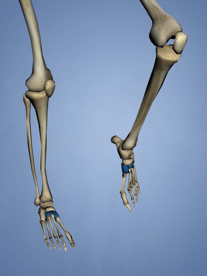 Ungewöhnlich 3d Knochen Anatomie Fotos - Anatomie Von Menschlichen ...