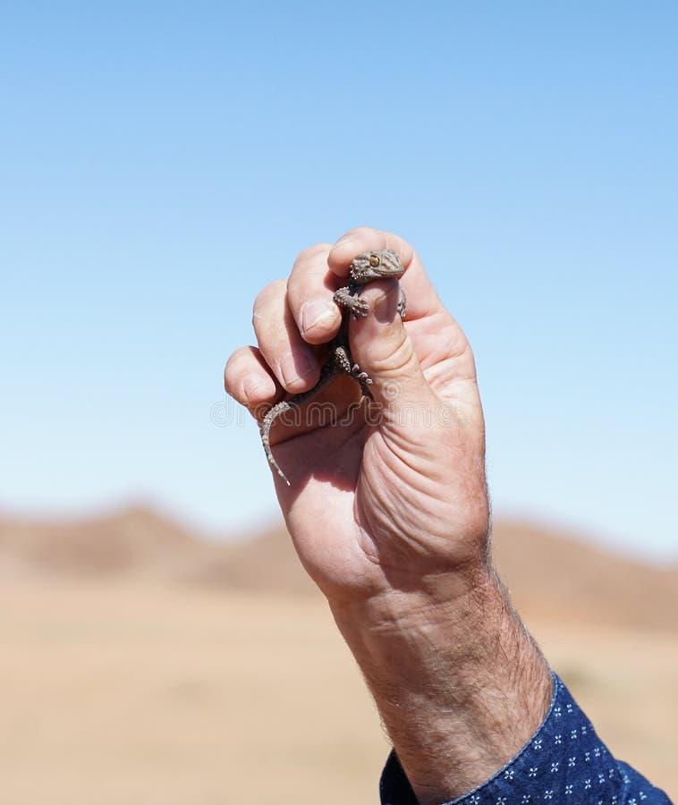 Keilfußgecko stockbilder