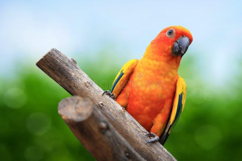 Keilschwanzsittich-Papagei auf grünem Hintergrund lizenzfreies stockfoto