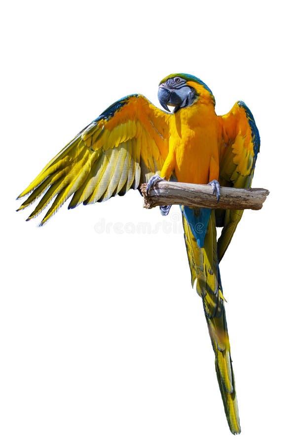 Keilschwanzsittich-Papagei auf lokalisiertem weißem Hintergrund lizenzfreie stockfotos