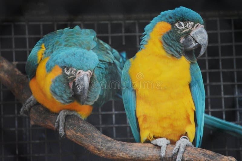 Keilschwanzsittich-Papageien in einem Käfig lizenzfreie stockfotografie