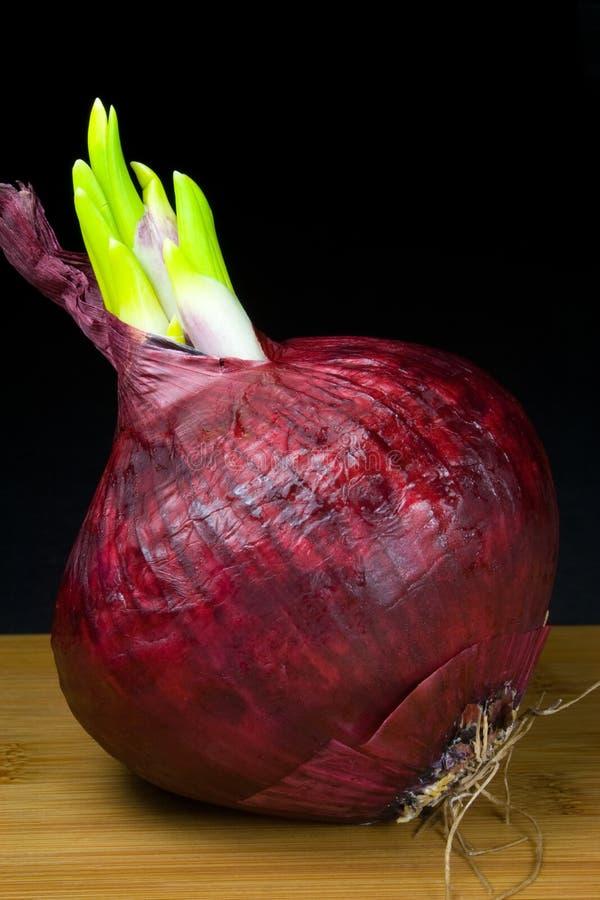 Keimung-rote Zwiebel lizenzfreie stockfotos