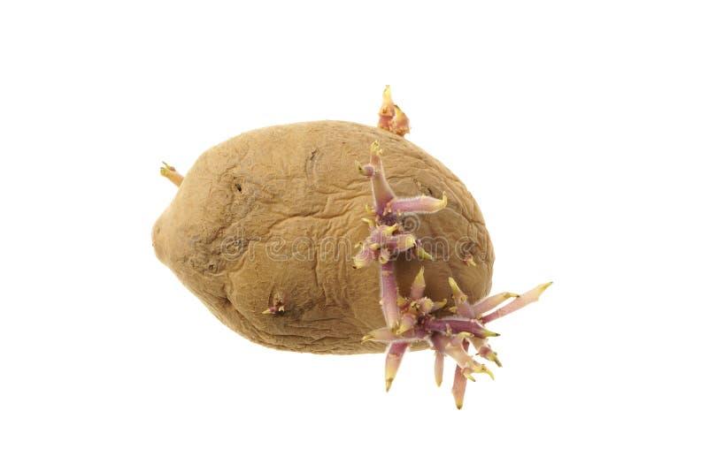Keimungskartoffel, Solanum Tuberosum, lokalisiert auf Weiß lizenzfreie stockbilder