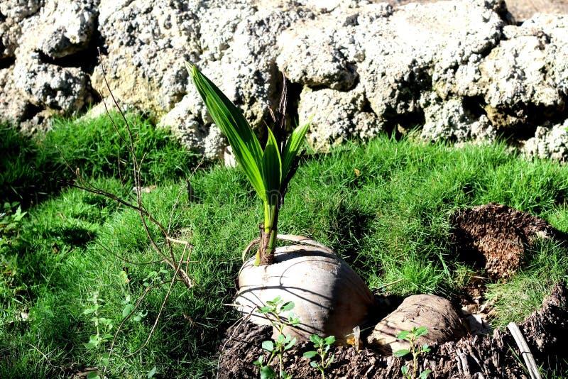 Keimungskokosnuß, von der die Palme wächst lizenzfreie stockbilder