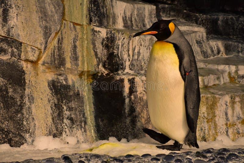 Keizerpinguïn in het Imperium van Antarctica van de pinguïnen in Seaworld stock foto's