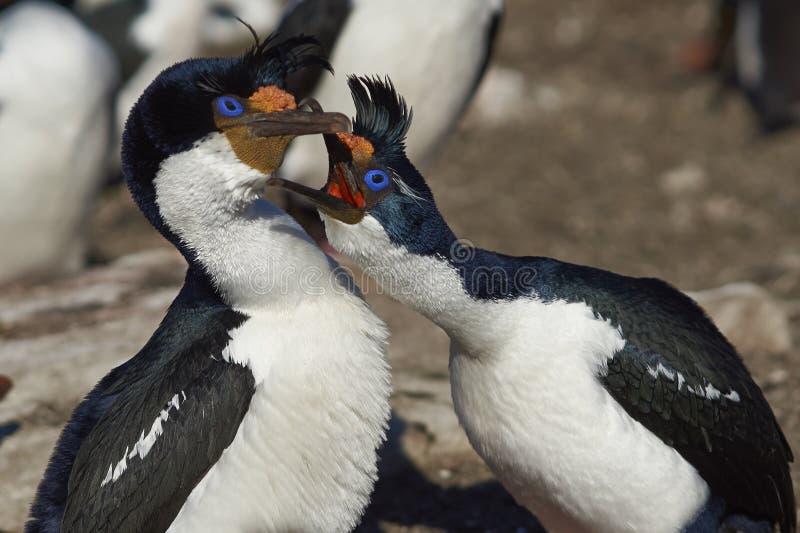 Keizerpluizig laken - Falkland Islands stock afbeeldingen