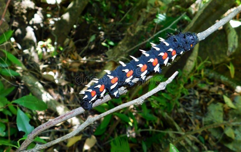Kejsare Caterpillar för kålträd arkivfoton