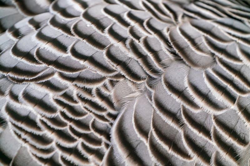 Kejsaregås ( Ansercanagica arkivfoton