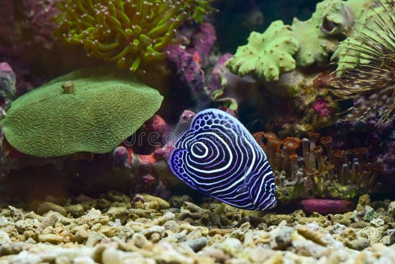 Kejsarehavsängeln är art av havshavsängeln Dessa är fisken släkt rever arkivbild