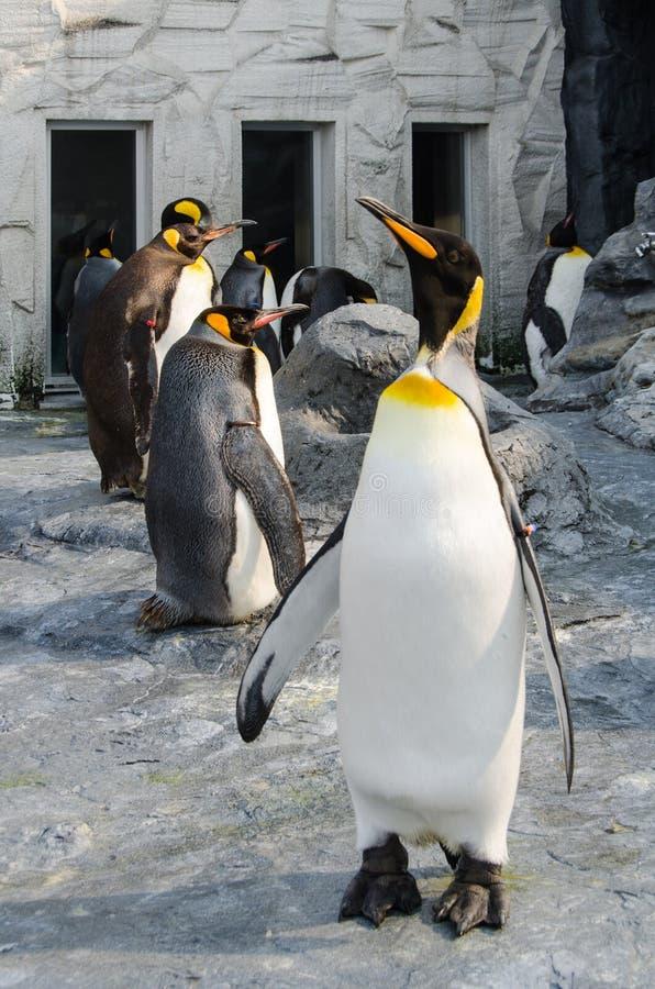 Kejsarpenguin i djurparken royaltyfri foto