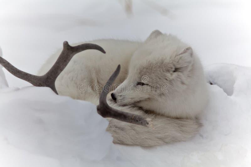 Kel för arktisk räv i snö bredvid hjorthorn på kronhjort royaltyfri bild