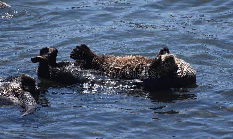 Kel för havsuttrar och sväva i Stilla havet arkivfoto