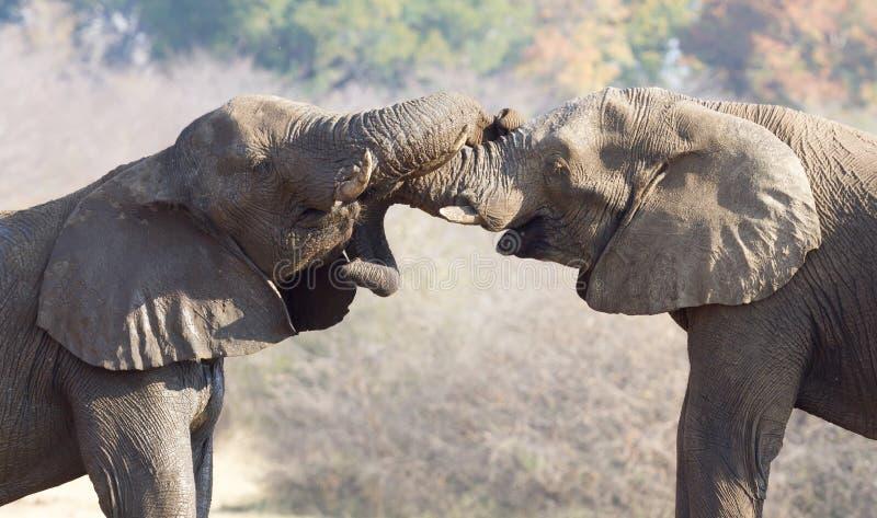 Kela för afrikanska elefanter fotografering för bildbyråer