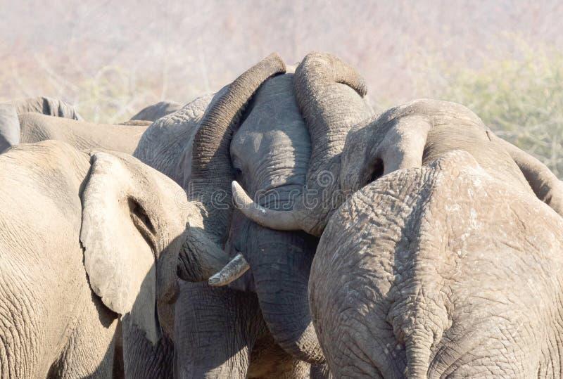Kela för afrikanska elefanter royaltyfri bild