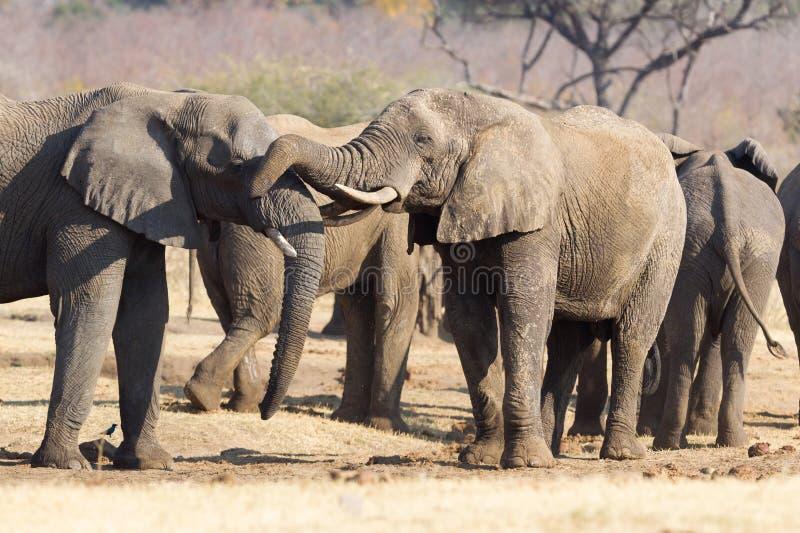 Kela för afrikanska elefanter royaltyfria foton