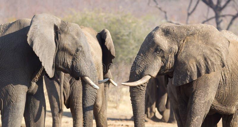 Kela för afrikanska elefanter royaltyfri foto