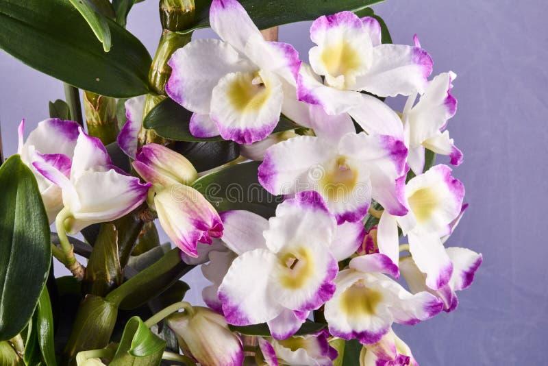 Kelch dendronium Blume im Topf lizenzfreies stockfoto