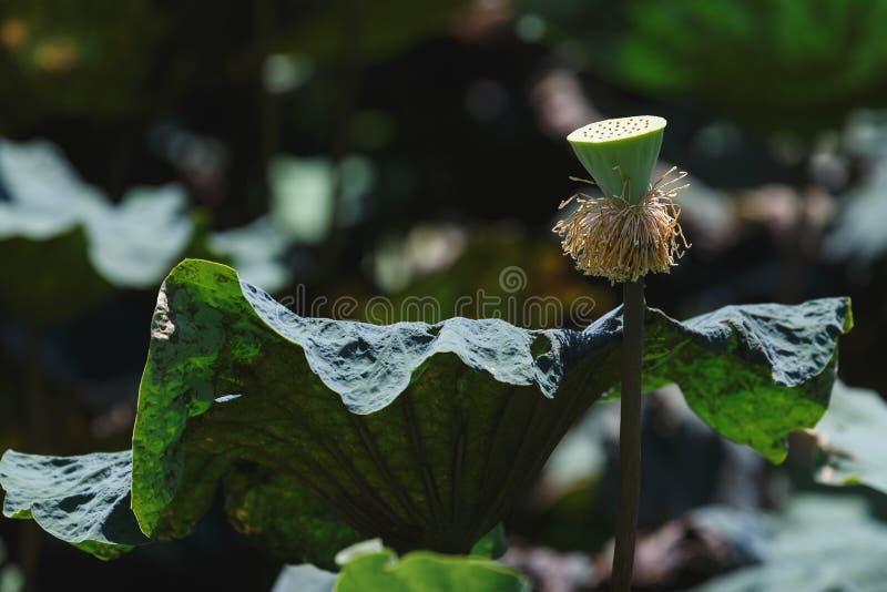 Kelch der Seerose oder des Lotos lizenzfreie stockfotografie
