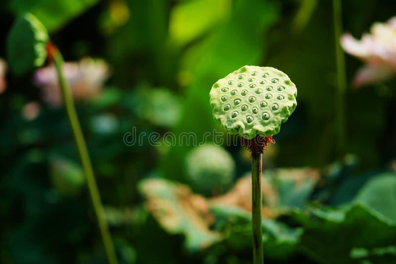 Kelch von Lotos im Lotos Lotus-Teichhintergrund stockbilder
