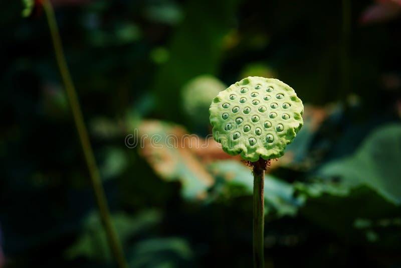 Kelch von Lotos im Lotos Lotus-Teichhintergrund lizenzfreie stockfotos
