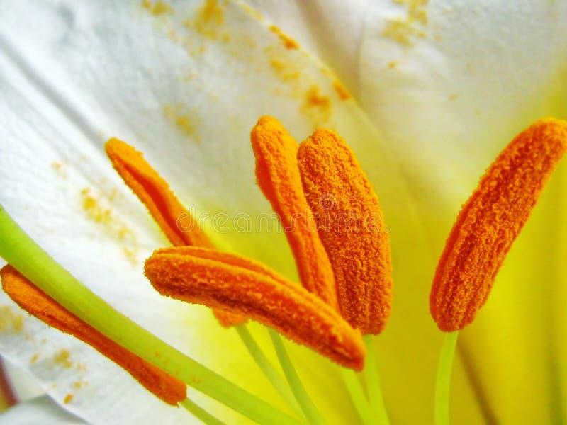 Kelchblätter der weißen königlichen Lilie - Lilium regale lizenzfreies stockbild