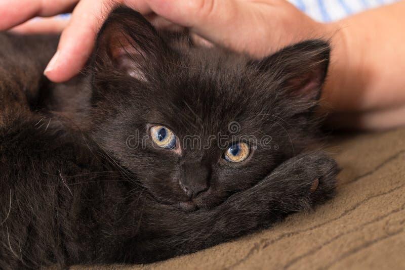 Kelig svart kattunge och mänsklig hand Inhemsk katt åtta gamla veckor Felissilvestriscatus arkivfoto