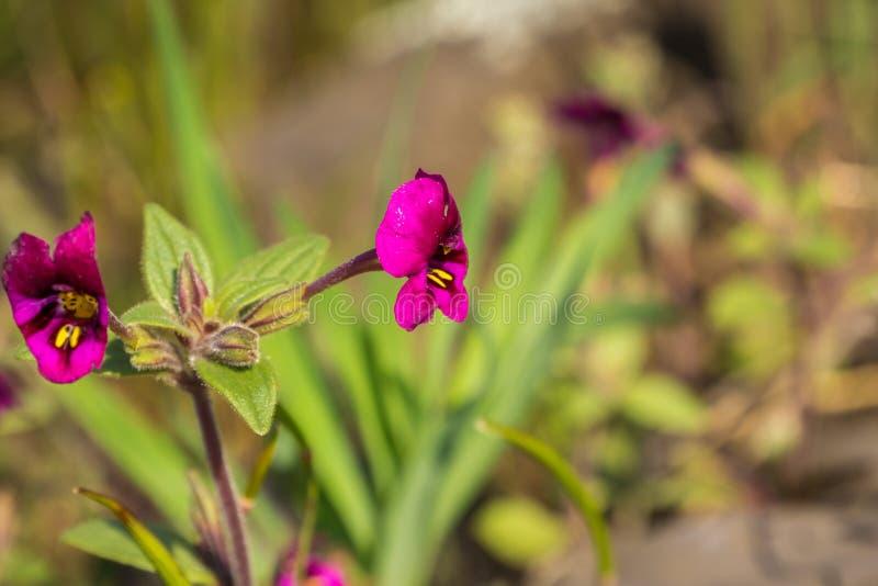 Kellogg \ 'monkeyflower de s (kelloggii de Mimulus) que florece en los prados de la reserva ecológica de la montaña del norte de  imagen de archivo