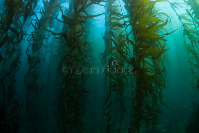 Kelp δάσος σε Καλιφόρνια στοκ φωτογραφίες