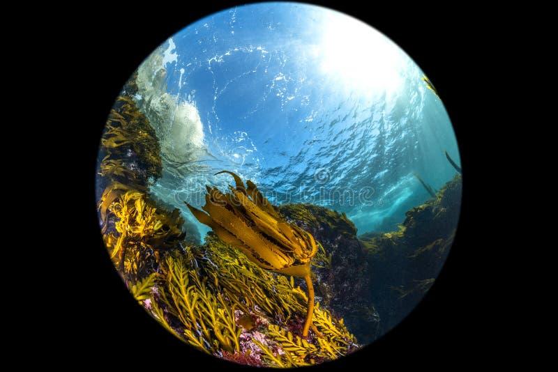 Kelp Καλιφόρνιας προοπτική κρεβατιών fisheye στοκ φωτογραφία με δικαίωμα ελεύθερης χρήσης