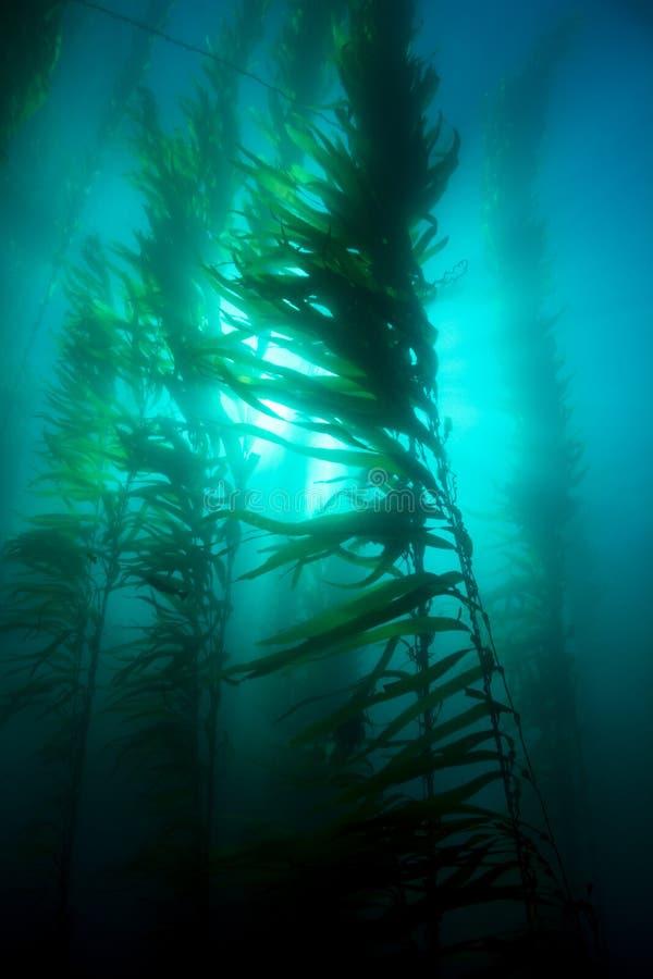 Kelp κρεβάτι στοκ φωτογραφία με δικαίωμα ελεύθερης χρήσης