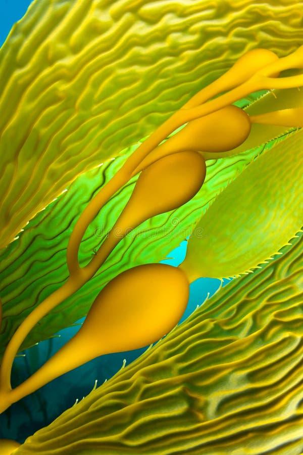 kelp fotografie stock libere da diritti