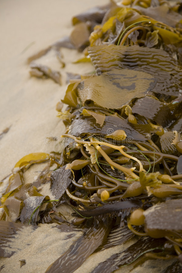 Kelp fotografia stock
