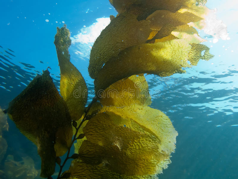 Download Kelp Against Sunlight stock photo. Image of kelp, sunlight - 25981620