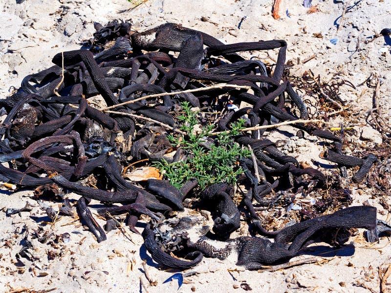 Kelp asciutto immagini stock