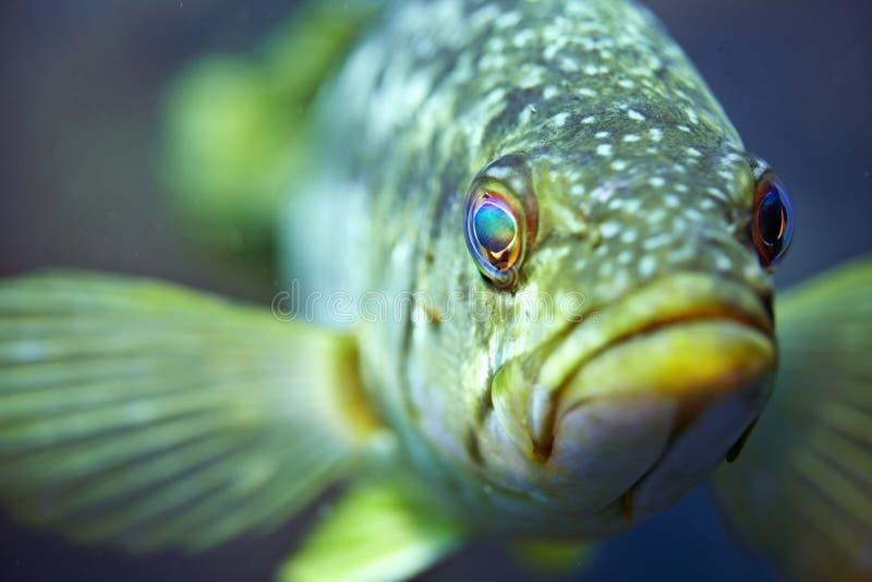 Kelp-Baß stockfotografie