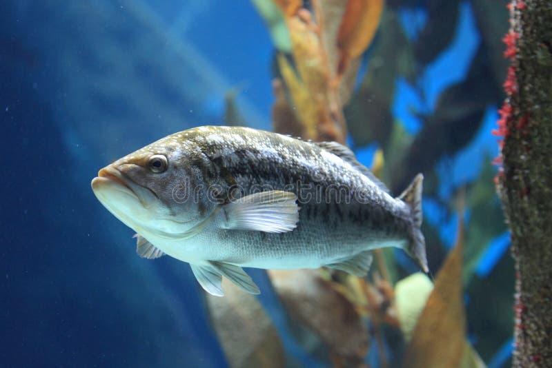 Kelp bass stock photo