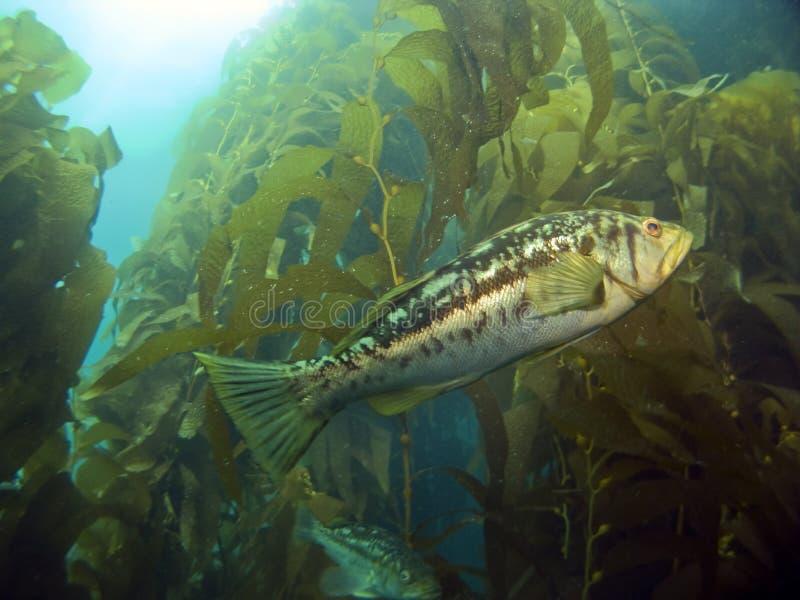 Kelp Bass in the Kelp. Kelp Bass swimming in the Kelp on Catalina Island stock images