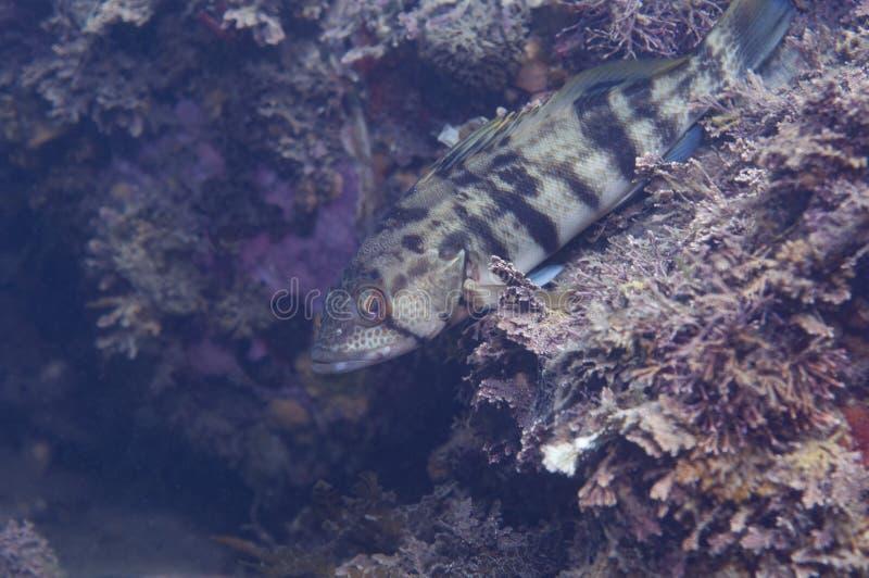 Kelp Bass royalty free stock photos