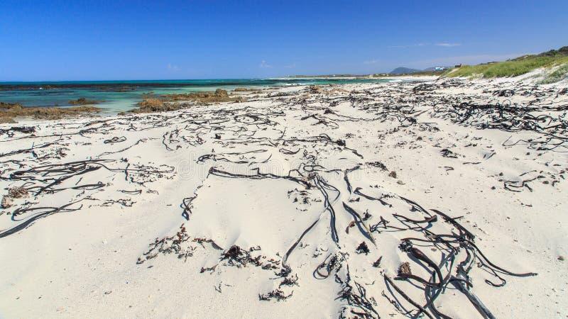 Kelp on the beach - Pearly beach - South Africa stock photos
